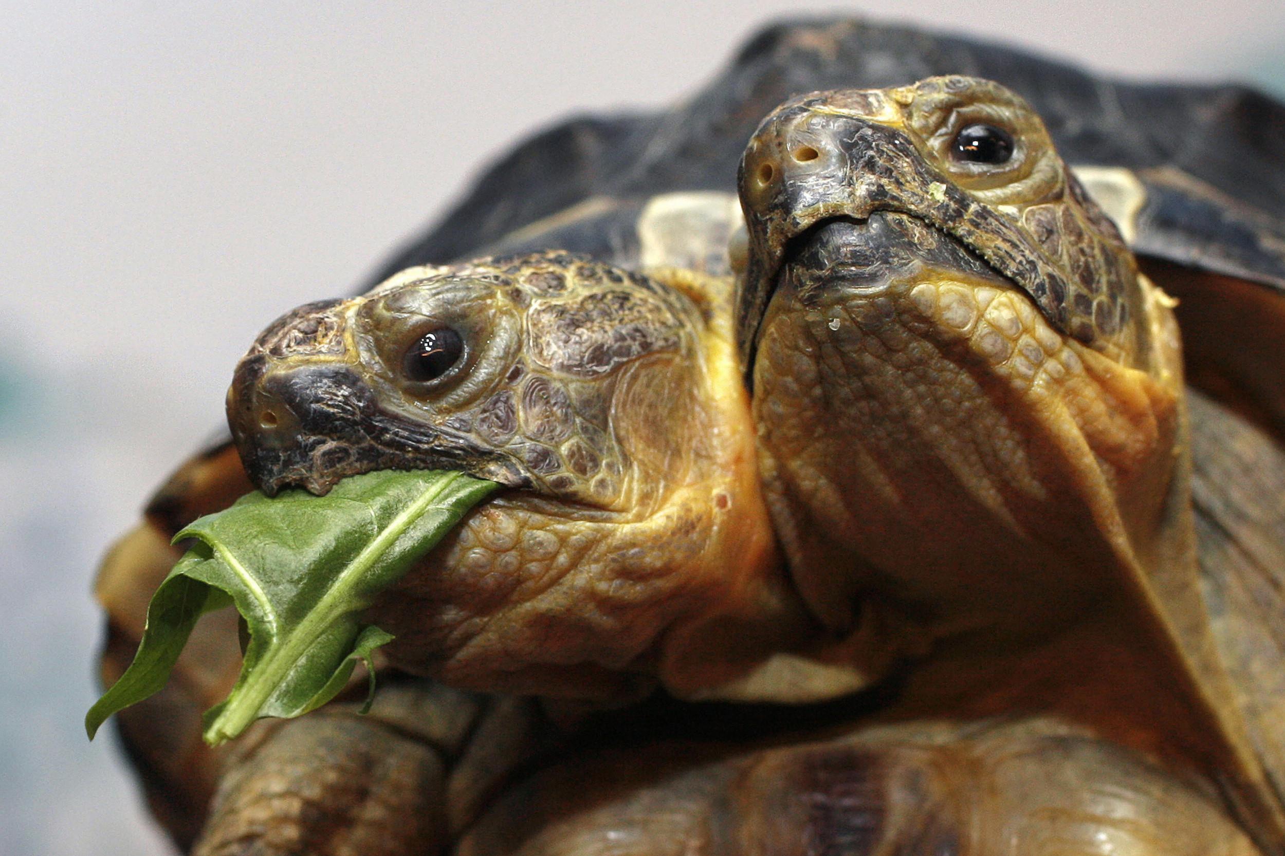 Two-headed turtle at San Antonio Zoo