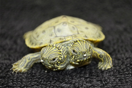 two-headed-turtle